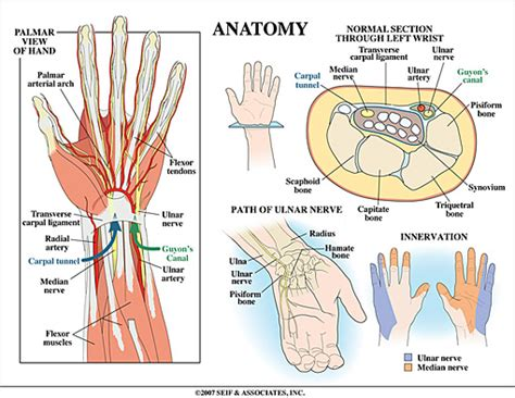 c section muscle damage learn about wrist anatomy from dr pruzansky a leading