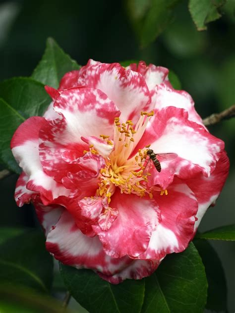 4 4 Dollyn Cabella Flower 8002 179 best camelias images on camellia beautiful flowers and pretty flowers