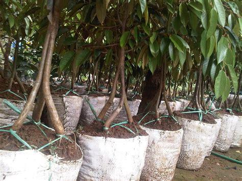 Bibit Durian Musang King Kaki 3 jual bibit durian musang king kaki 3 tiga samudrabibit