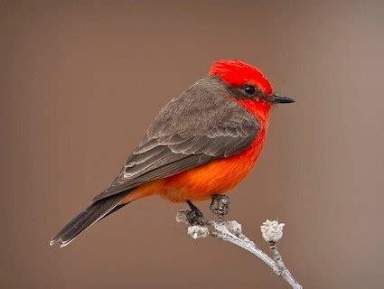vermilion flycatcher, identification, all about birds