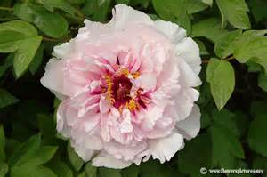 peony pictures peony flower pictures