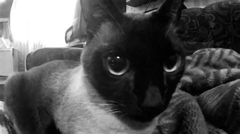 imagenes gif blanco y negro black and white cat gif find share on giphy