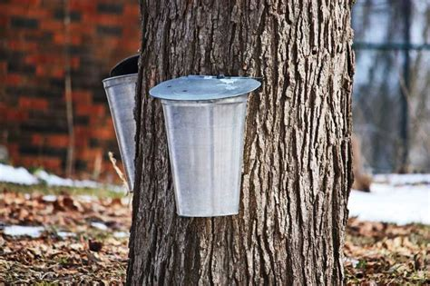 backyard maple syrup upcoming events maple syrup in your backyard