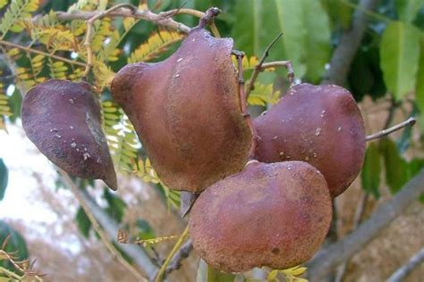Folia Fg 28 jacaranda mimosifolia