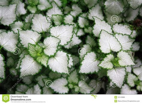 green and white foliage plants plants with white leaves with a green border royalty free