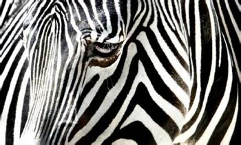 zebra pattern camouflage if zebras stripes aren t for camouflage what are they for