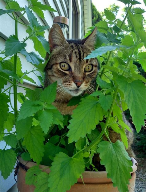 Planter Herbe à Chat by 45 Pics Of Cats High On Catnip Bored Panda