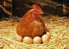 villagers reel in shock as hen grows breasts in narok photo edaily kenya