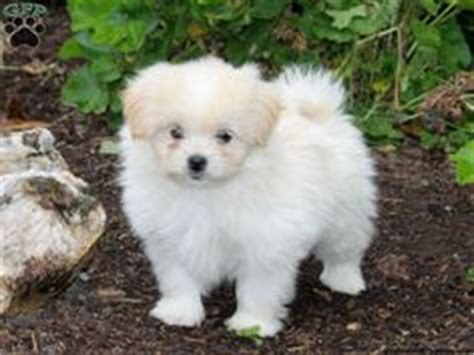pomapoo puppies for sale 1000 images about pomapoo cuteness on pomeranians puppys and poodles