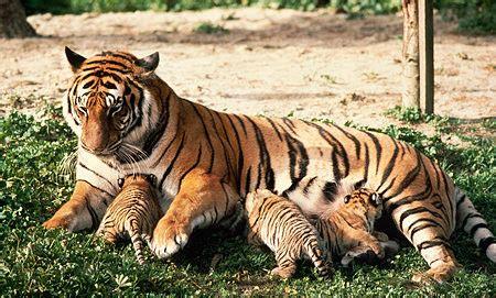 gambar wallpaper anak harimau gambar cendawan susu harimau myagri mymyagri gambar
