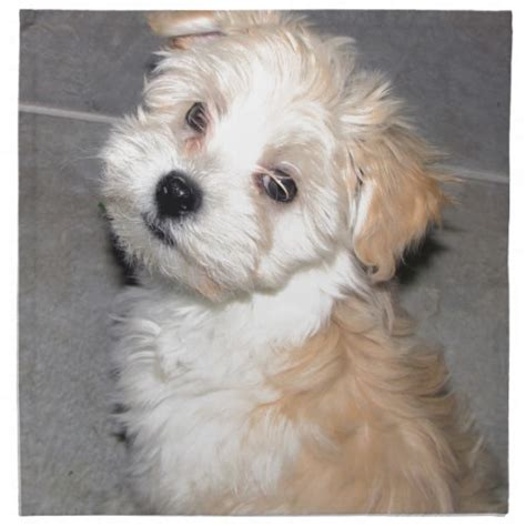 havanese dogs rescue the gallery for gt havanese white and