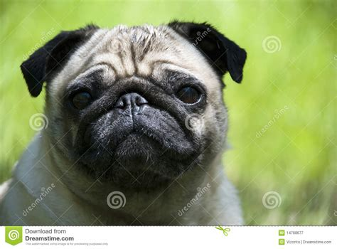 pug royalty pug royalty free stock photography image 14768677