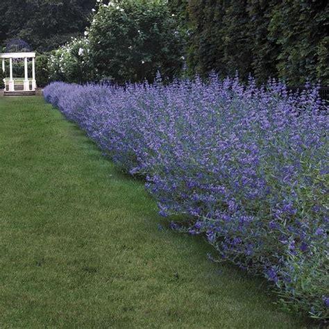 siepi da giardino fiorite siepi piante da giardino