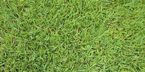 couch grass maintenance brisbane turf varieties sir walter palmetto
