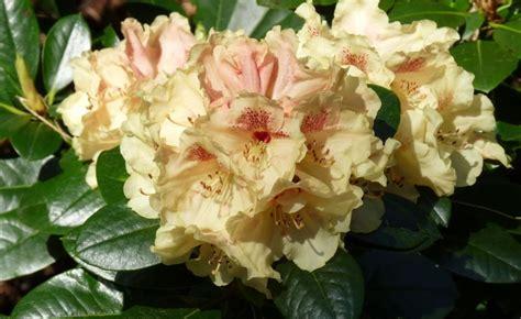 Rhododendron Vermehren by Rhododendron Durch Ableger Vermehren