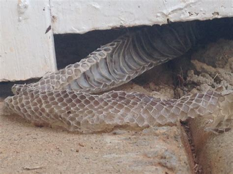 How To Help Snake Shed by I Found These Snake Skins Sticking From An Outside Wall In