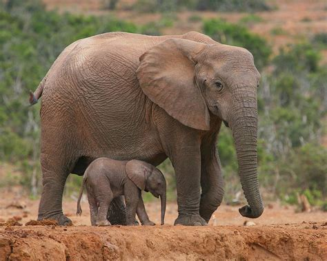 mother and calf photograph by bruce j robinson