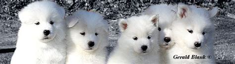samoyed puppies for sale oregon samoyed puppies for sale washington myideasbedroom
