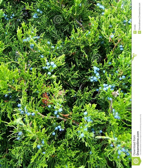 juniper evergreen berries stock image image of berries 31405