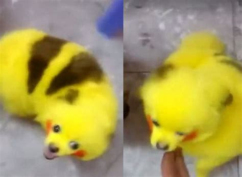 pikachu puppy outrage after colours his to look like pikachu z103 5