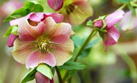 fiori giardino perenni fiori perenni ecco i pi 249 belli da avere in giardino leitv