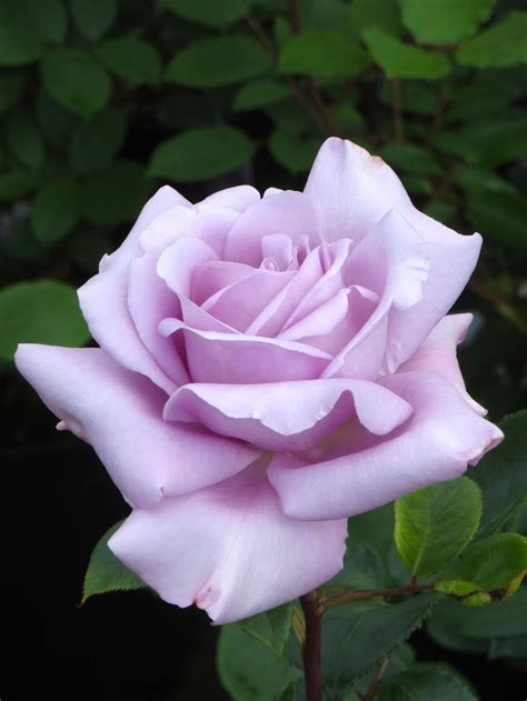 some roses and name on best 25 blue roses ideas on pinks real name