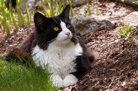 Gato británico bicolor, blanco y negro: todo sobre él