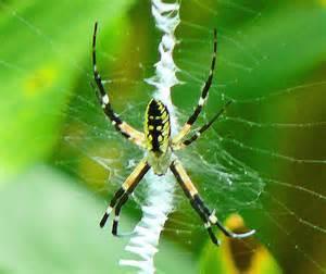 black and yellow garden spider argiope aurantia flickr