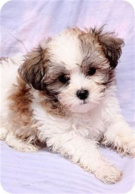 puppies for adoption st louis mo honey bears coton de tulear maltese shih tzu mix pets