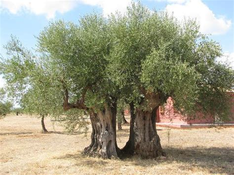 when do live trees go on sale olive tree picture of eumelia organic agrotourism farm