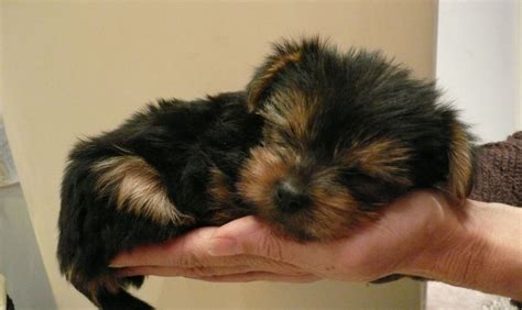 newborn yorkie puppies taking care of your newborn yorkie puppies my yorkie world