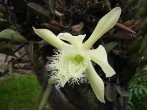 flor nacional honduras colouring pages