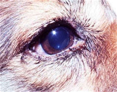 blepharitis in dogs 17 best images about parasites on tick fever accredited universities and