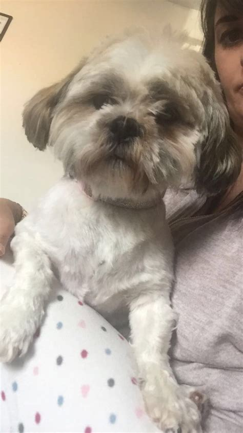 shih tzu rehome shih tzu for rehoming prestatyn denbighshire pets4homes