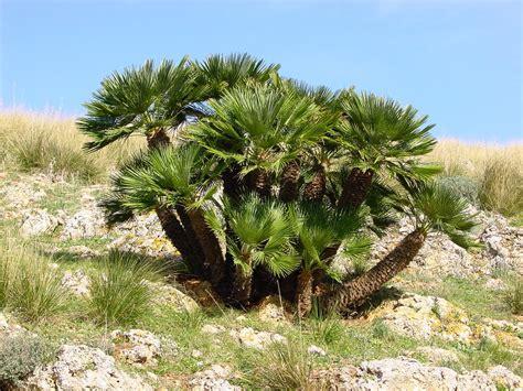 chamaerops humilis mediterranean fan palm chamaerops wikipedia