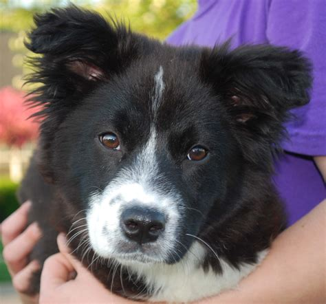 border collie rescue puppies border collie rescue pictures breeds picture