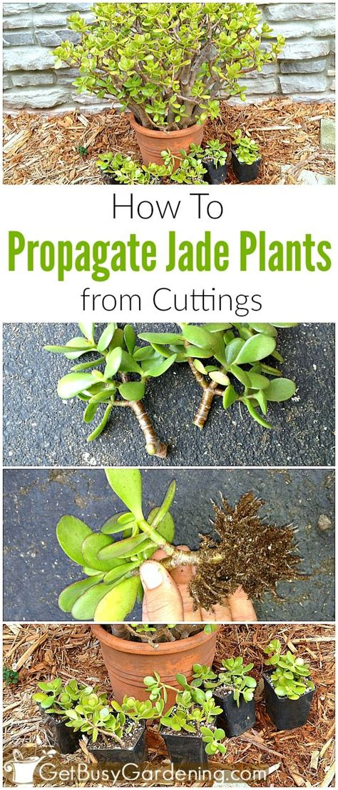 How To Propagate Succulent Leaf Cuttings With Near - 25 best jade plants ideas on cacti and