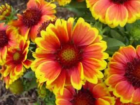 gaillardia blanket flower plant care guide and varieties auntie dogma s garden spot