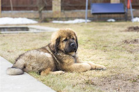 Pictures Of Tibetan Mastiffs