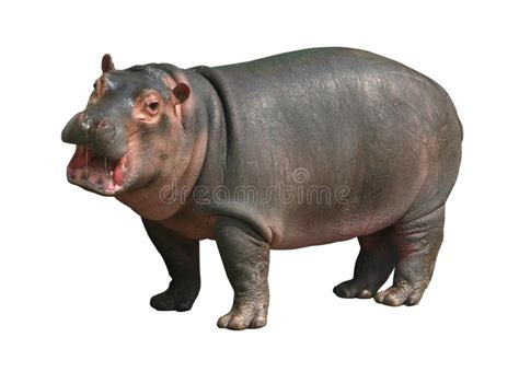 Hippopotamus In White Background hippo baby on white background stock photo image of lake