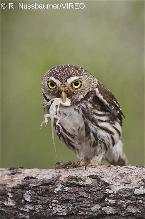 northern pygmy owls diets coffee house