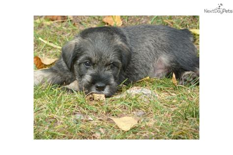 standard schnauzer puppies for sale schnauzer standard puppy for sale near missoula montana 11b7b057 4c31