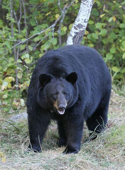 american black bear wikipedia