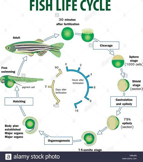 fish cycle diagram vector illustration of fish cycle stock vector