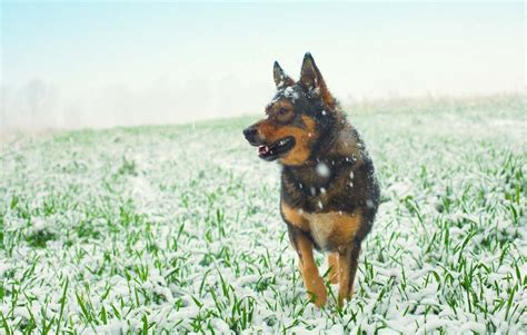 cold weather dogs sunday s recap cold weather preparation for dogs top tips