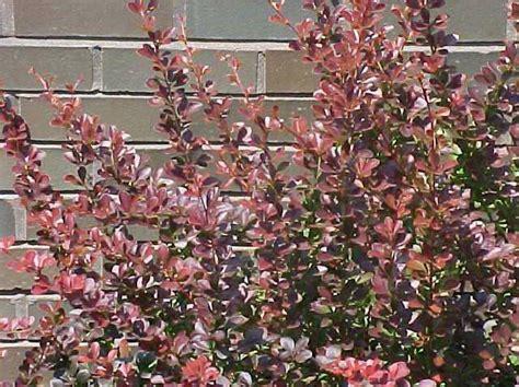berberis thunbergii crimson pygmy kiefer nursery