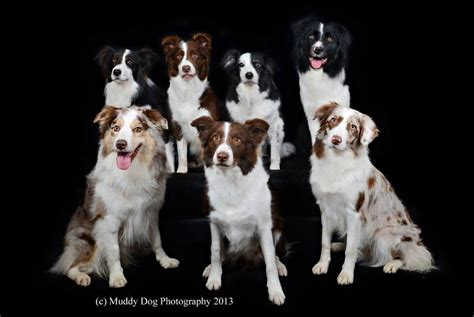 border collie colors dunwurkn border collies border collie history