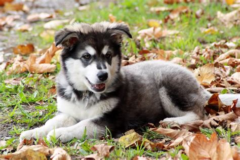 14 week puppy 14 week malamute puppy picket cross our paws rescue