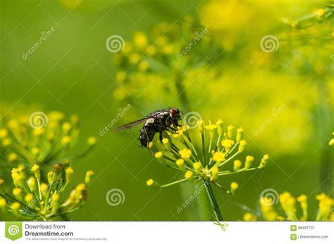 immagini sui fiori mosca sui fiori gialli immagine stock immagine di insetto