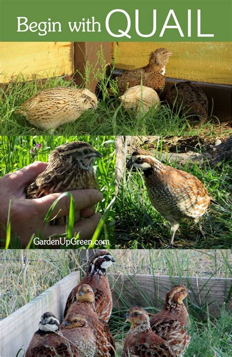 raising backyard quail 17 best ideas about raising quail on pinterest quail